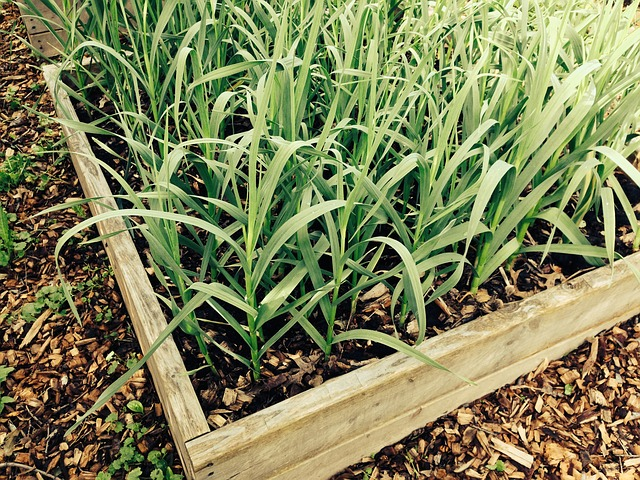 Is pressure treated wood safe for vegetable gardens like in this image