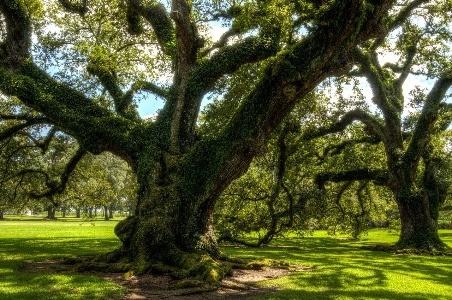 Image of oak tree but is oak a softwood?